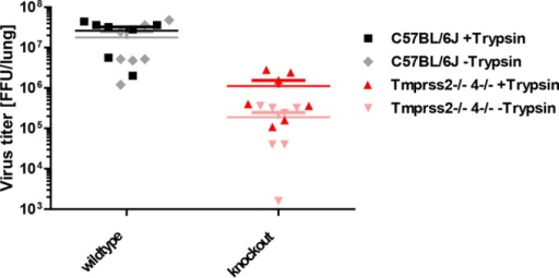 Virus isolated from Tmprss2−/−Tmprss4−/− lungs exhibits reduced infectivity in the absence of trypsin. Eight- to 11-week-old female mice were infected with 2 × 103 FFU of mouse-adapted H3N2 influenza virus by intranasal application. On day 2 p.i., the ratio of processed to nonprocessed virus (HA cleavage or not) in lung homogenates was determined using a modified FFU assay without exogenous trypsin. The total number of virus particles (mature or not) was determined in the presence of trypsin. Samples from mutant mice showed significantly lower levels of matured viruses than the total number of virus particles (P < 0.05). No difference was detectable in samples from infected wild-type mice. Data shown are means ± SEM for 7 replicates from two independent experiments.