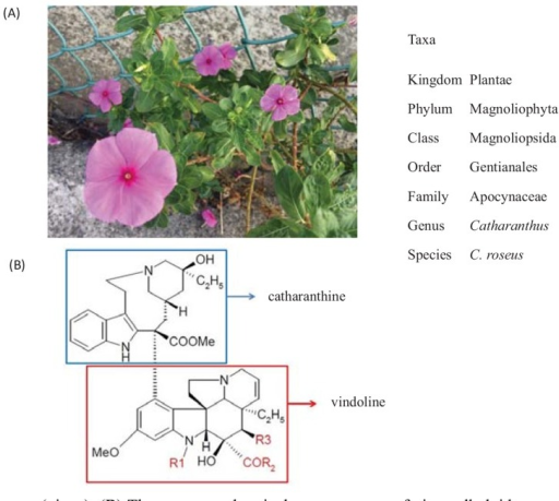 (A) Catharanthus roseus (vinca). (B) The common chemical core structure of vinca alkaloids, generated by joining 2 alkaloids, catharanthine and vindoline. The substitute group R1 of vinblastin, vindesine, vinorelbine, and vinflunine is methyl, and that of vincristine is formyl. The substitute groups R2 and R3 of vinblastin, vincristine, vinorelbine, and vinflunine are methoxy and acetoxy, whereas those of vindesine are amine and hydroxy. The hydroxylation and alkylation site of catharanthine in vinflunine is modified with ethylidene difluoride.