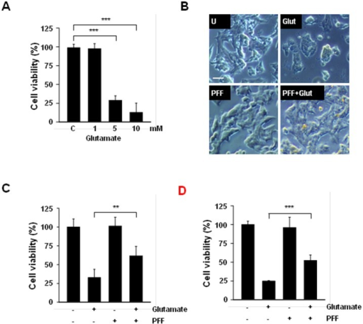 PFF treatment protected against glutamate-induced neurocytotoxic damage in PC12 cells.(A) PC12 cells were stimulated with glutamate (1, 5, 10 mM) or vehicle control for 24 h and cell viability then was measured with the MTT assay. (B and C) Undifferentiated PC12 cells were treated with PFF (10 μM) for 45 min before glutamate stimulation (5 mM). After 24 h, the neuroprotective effects of PFF were assessed with an inverted phase-contrast microscope (for morphological changes, B; scale bars = 25 μm) and the MTT assay (for cell viability, C). (D) Retinoic acid-mediated differentiated PC12 cells were incubated with PFF (10 μM) for 45 min before glutamate stimulation (5 mM). After 24 h, cell viability was analyzed by MTT assay. Data represent the means and SD of three independent experiments. *p < 0.05, ***p < 0.001 vs. the control group. SC, vehicle control (0.01% DMSO), Glut, glutamate.