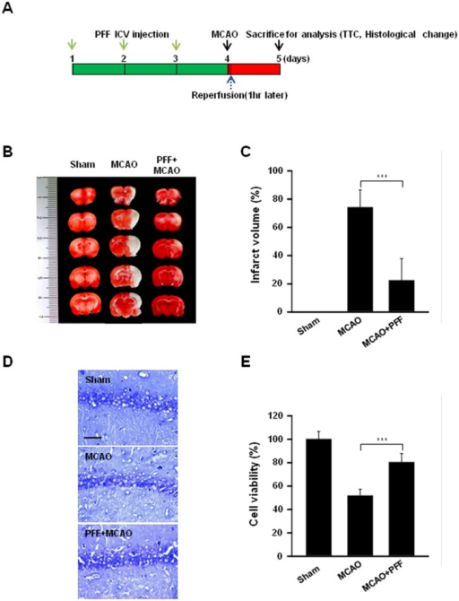 PFF treatment prevented MCAO-induced brain damage in a rat animal model of ischemic stroke.(A) In vivo experimental schedule. PFF was injected intracerebroventricularly into the left lateral cerebral ventricle of the rat, as described in the Materials and Methods section. (B and C) TTC staining was used to assess infarction volume in coronal sections. (B) Representative images of coronal sections from rats receiving sham, MCAO, and PFF plus MCAO on day 5. The red region indicates intact tissue, and the white region indicates the infarct area. (C) The bar graph represents the means ± SD of infarct volume under each condition. (D and E) Histological changes in the hippocampus were observed using cresyl violet staining. (D) Representative images of each section. Scale bars = 25 μm. (E) Cell viability was determined in tissue sections from each rat group. ***p < 0.001 vs. the control group.