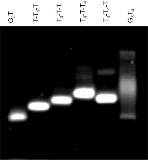 Mobility of the quadruplex-forming oligonucleotides on a 14% polyacrylamide gel supplemented with 20 mM KCl.