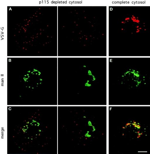 p115 depletion blocks ER to Golgi transport of VSV-G protein at a pre-Golgi stage. NRK cells were infected with VSVtsO45 for 3 h at 42°C. Cells were permeabilized and supplemented with transport cocktails containing p115-depleted cytosol (A–C) or complete cytosol (D–F). After transport at 32°C for 90 min, cells were processed by double label immunofluorescence using anti–VSV-G protein (A and D) and anti–Mann II (B and E) antibodies. Depletion of p115 from the transport assay had no effect on VSV-G protein exit from the ER, but prevented VSV-G protein transport to the Golgi (A–C) and caused accumulation of VSV-G protein in peripheral VTCs lacking Mann II. In the presence of complete cytosol, VSV-G protein was efficiently delivered to the Golgi (D–F). Bar 10 μm.