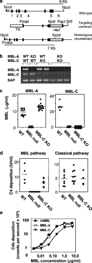 Generation and characterization of MBL- mice. (a) MBL-C targeting construct. Genomic organization of MBL-C is shown and compared with the targeting vector and homologous recombinant. (b) RT-PCR analysis of transcript for MBL-A, MBL-C, and serum amyloid protein (SAP) in liver. (c) Serum levels of MBL-A and MBL-C in WT, MBL-C KO, and MBL- mice. •, individual mice; bars, the mean value for each group. (d) C4 cleaving activity of serum. The capacity of serum to activate C4 via the MBL complement pathway (left) or classical pathway (right) was assayed as described above. •, individual mice; bars, the mean value for each group. (e) C4 cleaving activity. Comparison of rhMBL with purified MBL-A and MBL-C. •, rhMBL; ○, MBL-A; ▾, MBL-C.
