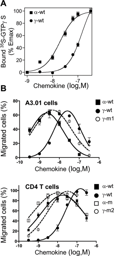 Cell signalling through CXCR4 induced either by α-wt, γ-wt or derivative chemokines.(A) CXCL12-induced [35S]GTPγS binding to membranes from lymphoblastoid A3.01 T cells. Membranes were incubated in assay buffer containing 0.1 nM [35S]GTPγS and the indicated concentrations of the corresponding chemokine. Data represents the percentage (mean±SD) of the maximal [35S]GTPγS binding obtained (100%), and are representative of three independent experiments. (B) Dose-dependent CXCL12-induced chemotaxis of A3.01 cells (upper panel) or primary CD4+ T lymphocytes (lower panel). Results (mean±SD) are from two independent experiments and are expressed as percentage of input cells that migrated to the lower chamber.