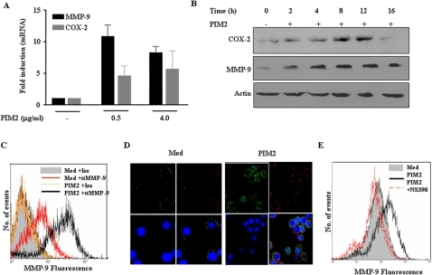 PIM2 induces expression of COX-2 and MMP-9 in mouse peritoneal macrophages.(A). Mouse peritoneal macrophages were treated with 0.5 and 4.0 µg/ml of PIM2 and mRNA levels of COX-2 and MMP-9 were analyzed by Quantitative real time PCR. (B). The levels of COX-2 and MMP-9 protein expression were evaluated by immunoblotting in total cell lysates prepared from macrophages treated with 4.0 µg/ml of PIM2 for different time points. (C). Flow cytometric analysis of MMP-9 expression on the surface of PIM2 treated macrophages. Cells were probed with anti-MMP-9 or isotype matched control antibody followed by anti- rabbit FITC. (D). Immunoflourescent staining of MMP-9 on macrophages treated with 4.0 µg/ml of PIM2 as analyzed by confocal microscopy. Cells were fixed and MMP-9 expression was detected by binding of specific or isotype matched antibodies followed by probing with Cy-2 (green) labeled anti-rabbit secondary antibody. Nucleus of macrophages were stained with nuclear staining dye, Hoechst 33342 (blue) and plasma membrane with anti-MHC Class I antibody-Cy5 (red). (E). Mouse macrophages were cultured with or with out NS-398 (10 µM) and treated with 4.0 µg/ml of PIM2 for 12 h. The protein levels of MMP-9 were analyzed by immunoflourescent staining of MMP-9 followed by flow cytometry. The data represented in the figure are representative of three independent experiments. Med, Medium.