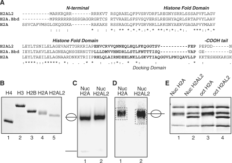 The histone variant H2AL2 can substitute for conventional H2A in the nucleosome. (A) Sequence alignment of mouse H2A.1 and H2AL2 and human H2A.Bbd. The N- and C-termini, the histone-fold domain as well as the docking domain (in bold) are indicated. (B) SDS PAGE of the purified recombinant histones used for nucleosome reconstitution. (C) EMSA of reconstituted nucleosome core particles. 32P-end labeled 147 bp 601.2 DNA sequence was used to reconstitute conventional and histone variant H2AL2 core particles. The reconstituted particles were run on 5% PAGE under native conditions. The positions of the core particles and of free DNA are indicated. Note that under the conditions of reconstitution essentially no free DNA was observed. (D) Preparative EMSA of reconstituted nucleosomes. Conventional and H2AL2 nucleosomes, reconstituted on 255 bp 601 DNA sequence, were run on 5% native PAGE, the bands corresponding to the nucleosomes were excised and then the nucleosomes were eluted from the gel. The gel-purified nucleosomes were run on SDS electrophoresis. (E) SDS PAGE of both conventional and H2AL2 histone octamers (lanes 3 and 4) and gel-purified reconstituted nucleosomes (lanes 1 and 2).