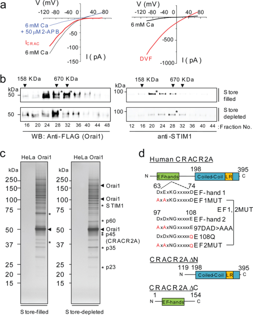 Identification of CRACR2A as a binding partner of Orai1 by large-scale affinity purification. (a) CRAC currents measured in HeLa cells stably expressing Orai1 and STIM1 (HeLa O+S cells). Left panel shows inwardly rectifying CRAC currents (red trace) obtained by subtracting 2-APB inhibited currents (blue trace) from whole-cell currents (black trace). The pipette solution contained 12 mM EGTA to deplete the intracellular Ca2+ stores and the external solution contained 6 mM CaCl2. Right panel shows current-voltage relationships of the currents in divalent free (DVF, red trace) or 6 mM CaCl2 (black) containing solution. (b) Glycerol gradient fractionation of DSP cross-linked HeLa O+S cells in store-filled (top two panels) and store-depleted (bottom two panels) conditions. Different fractions were separated on SDS-PAGE and immunoblotted for detection of Orai1 (left) and STIM1 (right). * represents fractions enriched in Orai1 or STIM1 proteins. Arrowheads denote the fractions in which MW markers were detected. For full scans see Supplementary Information, Fig. S12. (c) Affinity purification of Orai1 protein complex. The glycerol gradient fractions enriched in FLAG-Orai1 were pooled and immunoprecipitated with anti-FLAG resin. After elution with the FLAG peptide, fractions were separated on SDS-PAGE and visualized by silver staining. * indicates protein bands enriched in store-filled or store-depleted conditions. (d) Schematic showing the predicted domain structure of human CRACR2A protein. Human CRACR2A contains 395 amino acids with two predicted EF-hand motifs (SMART program) in its N terminus and a predicted coiled-coil domain with leucine rich (LR) sequence in its C terminus (Human Protein Reference Database and COILS). The mutants used in the current study are indicated.