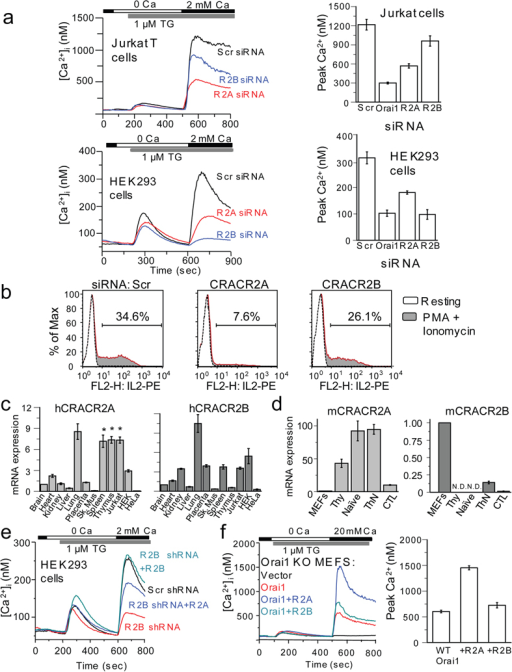 CRACR2A plays an important role in Orai1-mediated SOCE in T cells. (a) SOCE measurements in Jurkat and HEK293 cells depleted of CRACR2A and CRACR2B. Top panel, averaged responses from Jurkat T cells: scrambled (Scr, n = 75 cells), CRACR2A (R2A, n = 79), or CRACR2B (R2B, n = 70) siRNAs. Bottom, averaged responses from HEK293 cells: Scr (n = 41), R2A (n = 47) or R2B (n = 49). Bar graphs represent averaged peak [Ca2+]i ± s.e.m. from three independent experiments. (b) Measurement of IL-2 expression in Jurkat T cells transfected with siRNAs. A representative of three independent experiments is shown. (c) Real-time PCR analysis of human CRACR2A and CRACR2B transcripts from various tissues and cell lines. Normalized mRNA levels are plotted relative to those of brain tissue. Data represent average ± s.d. from 2 independent experiments performed in triplicate. * indicates tissues or cell-lines showing high expression of CRACR2A transcripts, distinct from CRACR2B. (d) Expression of CRACR2A and CRACR2B in murine primary cells. The mRNA levels of CRACR2A or CRACR2B were measured from mouse embryonic fibroblasts (MEFs), thymocytes (Thy), naïve CD4+ T cells (Naïve), effector CD4+ (ThN), or CD8+ (CTL) T cells. Normalized mRNA levels are plotted relative to those of MEFs. N.D., not detected. Data represent average ± s.d. from 2 independent experiments performed in triplicate. (e) Examination of functional redundancy between CRACR2 proteins. SOCE was measured in HEK293 cells stably expressing control (Scr, black trace, n = 46 cells) or CRACR2B shRNA (red, n = 49). CRACR2B-depleted cells with ectopic expression of CRACR2A (R2A, blue, n = 41) or CRACR2B (R2B, cyan, n = 43) were examined for SOCE. A representative of three independent experiments is shown. The plasmids contain IRES-GFP and GFP+ cells were selected for analysis. (f) Effect of CRACR2 protein expression on Orai1-mediated SOCE. SOCE was measured in Orai1- MEFs expressing CRACR2A or CRACR2B together with Orai1. Each trace shows averaged responses from 25 (vector), 30 (Orai1), 35 (Orai1+R2A) or 33 (Orai1+R2B) MEFs. The bar graph shows averaged peak [Ca2+]i ± s.e.m. from three independent experiments.
