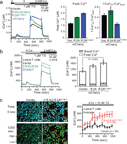 CRACR2A regulates SOCE and CRAC channel-mediated Ca2+ oscillations in T cells. (a) Measurement of SOCE in HeLa O+S cells expressing CRACR2A. Averaged responses from HeLa O+S cells expressing mCherry (n = 33 cells), CRACR2A-mCherry (n = 36), or CRACR2AEF2MUT-mCherry (n = 39) are shown. Bar graph shows peak [Ca2+]i values immediately upon addition of 2 mM Ca2+ (Left). A decrease in sustained [Ca2+]i is plotted as 1-Ca2+ss / Ca2+peak, where Ca2+ss represents steady state [Ca2+]i at 800 sec and Ca2+peak represents the peak [Ca2+]i (right). Bar graphs show average ± s.e.m. from three independent experiments. (b) Measurement of SOCE in Jurkat T cells expressing CRACR2A. Averaged responses from cells expressing mCherry (n = 55 cells), CRACR2A-mCherry (n = 50), or CRACR2AEF2MUT-mCherry (n = 60) are shown. Bar graph depicts average ± s.e.m. of [Ca2+]i before (basal, gray bars) and after (peak, open bars) store depletion from three independent experiments. * represents statistically significant differences in resting and stimulated [Ca2+]i (P < 0.001 by t-test). (c) Expression of CRACR2AEF2MUT in Jurkat T cells disrupts normal Ca2+ oscillations induced by thapsigargin. Jurkat T cells expressing mCherry or CRACR2AEF2MUT-mCherry were treated with 10 nM thapsigargin in 2 mM Ca2+ containing Ringer solution to induce asynchronous [Ca2+]i oscillations. Left panel shows pseudocolored images of transfected cells for [Ca2+]i (>70% transfection efficiency in each case) and right panel shows the traces of [Ca2+]i oscillations averaged from 50 cells. Data are representative of three independent experiments. Bar, 50 µm.