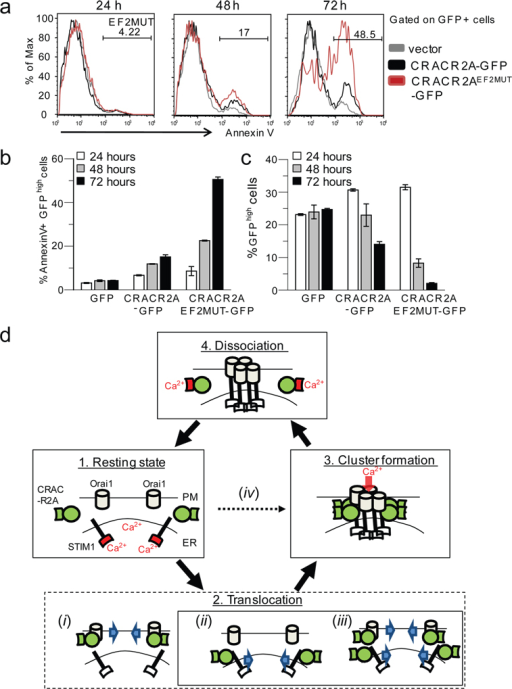 Expression of EF-hand mutant of CRACR2A induces cell death in Jurkat T cells. (a) Cell death induced by CRACR2A overexpression in T cells. Jurkat T cells expressing GFP, CRACR2A-GFP or CRACR2AEF2MUT-GFP were examined for cell death by Annexin V staining at 24, 48, and 72 h after transfection. One representative from three independent experiments is shown. (b) Quantification of the data shown in (a). Bar graphs represent average ± s.e.m. from three independent experiments. (c) Live cell population is reduced in Jurkat cells expressing CRACR2AEF2MUT-GFP. Jurkat T cells expressing GFP, CRACR2A-GFP or CRACR2AEF2MUT-GFP were assessed for percent of live, GFP-positive populations at 24, 48 and 72 h after transfection. Cells with high expression of GFP (GFPhigh) were analyzed by flow cytometry. Data represents average ± s.e.m. from three independent experiments. (d) A proposed model showing possible role(s) of CRACR2A in CRAC channel function. Under resting conditions, Orai1 and STIM1 are distributed at the PM and ER membranes, respectively (1. Resting state) while CRACR2A (green) localizes in the cytoplasm. Upon store depletion, Orai1 and STIM1 translocate to form clusters at the junctional regions between PM and ER (State 2). CRACR2A may either be actively involved in translocation of Orai1 (i), STIM1 (ii) or both (iii). It is also possible that CRACR2A passively interacts with Orai1 and STIM1 at sites of clustering (iv). Based on our data, we propose that CRACR2A is important for stabilization of Orai1- STIM1 complex via direct protein interaction under physiological conditions where amounts of Orai1 and STIM1 proteins are limiting (State 3). Upon increase of cytoplasmic [Ca2+] via opening of CRAC channels, the EF hands of CRACR2A bind Ca2+ ions, resulting in its dissociation from Orai1 and STIM1 (State 4), thereby destabilizing the Orai1-STIM1 complex. The EF-hands of STIM1 and CRACR2A are indicated and their Ca2+-bound status is colored in red. The schematic does not represent molecular stoichiometry of Orai1, STIM, and CRACR2A proteins.