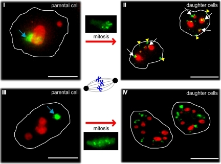 Photoactivation of nucleolar-associated chromatin to compare its localization in parental and daughter cells following mitosis. Photoactivation of PA-GFP-H2B stably expressed in HeLa cells. ROIs were either nucleolar-associated (I and II) or separate from nucleoli in the nucleoplasm (III and IV). These ROIs were photoactivated at 406 nm (blue arrows), and representative midplane deconvolved images are shown from cells either before (I and III) or after (II and IV) mitosis. Both postmitotic images show daughter cells 4.5 h after the onset of telophase. PA-GFP-H2B is shown in green, and nucleoli are labeled with mCherry-B23 (red). White arrows mark photoactivated chromatin that relocalizes at nucleoli in daughter cells; yellow arrowheads point at chromatin that relocalizes at the nuclear periphery in daughter cells. Scale bars, 10 μm.
