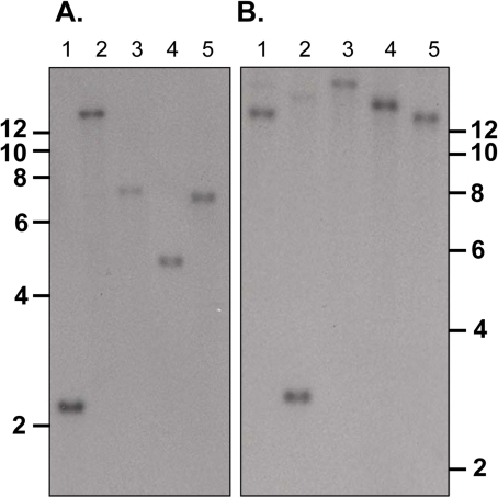 Determination of the number of copies of PY01365 in the                            genome.Southern blot analysis of WT genomic DNA digested with restriction                            enzymes. Panel A probed with Fragment C and digested with Hinc II and                            Hind III (lane 1), Hinc II and Acc 651 (lane 2), Hinc II and Bgl II                            (lane 3), Hinc II and Pvu I (lane 4) and Hinc II and Sca I (lane 5).                            Panel B probed with Fragment B and digested with Nco I and Sca I (lane                            1), Nco I and Pvu I (lane 2), Nco I and Pst I (lane 3), Nco I and Bgl II                            (lane 4) and Nco I and Acc 651 (lane 5). The migration of size markers                            (Kb) is indicated.