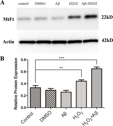 Western-blot analysis of MtF expression in each in vitro experiment group.(A) An immunoreactive band of approximately 22 kD probed with an anti-MtF antibody is present in all lanes. (B) When the expression level of MtF is normalized to β-actin, MtF expression after treatment with H2O2 or with a combination of Aβ and H2O2 was significantly greater than that in control cases (**p<0.01. *** p<0.001). However, treatment with Aβ or DMSO alone shows no significant effect on MtF expression.