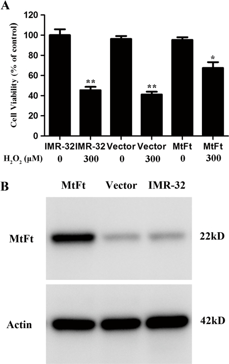 Effect of MtF expression on cell viability after treatment with H2O2.An MtF protein band exists with an apparent molecular mass of 22 kDa on SDS-PAGE; weak bands were detected in IMR-32 and vector-IMR-32 cells (B). Wild-type IMR-32 cells, empty vector transfectants (Vector-IMR-32), and MtF transfectants (MtF-IMR-32) were treated with 300 µM H2O2 for 30 min (A). Cell viability was measured by MTT assay. A remarkable decrease in the viability of IMR-32 and Vector- IMR-32 cells (about 50%; p<0.01, compared with control groups) was observed after treatment with 300 µM H2O2 for 30 min (A). The viability of MtF- IMR-32 cells under treatment decreased about 30%, however, the cell viability was much higher than in the control group (p<0.05). ** p<0.01 vs. non-treated cells; * p<0.05 vs. the H2O2-treated control cells.