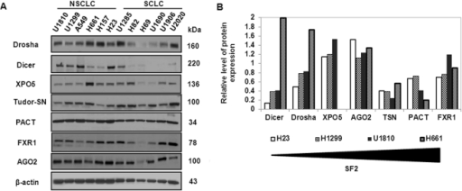 NSCLC and SCLC cells differ in sensitivity to radiation treatment and display differential expression of proteins involved in the regulation of miRNA biogenesis.(A) Western blot analysis of the level of protein expression of Drosha, Dicer, exportin 5 (XPO5), Tudor-SN (TSN), protein activator of the interferon-induced protein kinase (PACT), fragile X mental retardation syndrome-related protein 1 (FXR1) and Argonaute 2 (AGO2) in a panel of NSCLC (U1810, U1299, A549, H661, H157, H23) and SCLC (U1285, H82, H69, U1690, U1906, U2020) cell lines. (B) Densitometric analysis of relative levels of protein expression in H23, H1299, U1810 and H661 cell lines. Cell lines distributed according to radiosensitivity, measured as the fraction surviving at 2 Gy (SF2). Equal loading was verified using anti-β-actin antibodies. Results are representative of three independent experiments.