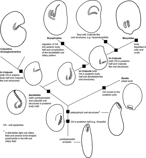 Development of oral features in the order Colpodida, using evolutionary systematics, as explained by Foissner et al. (2011). This scenario is part of a larger one because Colpoda-like oral structures occur also in several other small clades, e.g., Colpoda steinii and Bromeliothrix metopoides (Foissner et al., 2011). See Foissner (1993) and Foissner et al. (2011) for details of characters and the suborders Colpodina and Grossglockneriina.