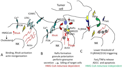 Scheme of the effects of HMG-CoA reductase inhibitors on NK cell function.Adhesion between NK and target cells triggers an activating signal in NK cells, leading to RhoA activation which favours reorganization of actin microfilaments and granule polarization to NK-target contact (A,B). At the site of contact are formed membrane microdomains (rafts) containing GM1 where activating receptor (i.e. NKG2D)-mediated [Ca2+]i increase and activation of akt leads to the degranulation of perforin (P) and granzymes (G) and consequent lysis of target cells (B). Cholesterol is essential for membrane mobility and correct aggregation of signalling molecules in membrane rafts. Fluvastatin-mediated inhibition of HMG-CoA reductase inhibiting mevalonate synthesis causes a low cholesterol content of cell membrane, a lower mobility and aggregation of activating receptors which cannot allow granule polarization. C: Apparently, both FasL and TNFα release are conserved in fluvastatin-incubated NK cells. This may depends on their low dependency of [Ca2+]i increase and akt activation and on low relevance of contact site–directed secretion. Indeed, when released FasL and TNFα may kill targets if these targets express the corresponding receptors. NK cell activation via FcγRIIIa (CD16), as it can occur with therapeutic antibodies rituximab or trastuzumab, has a quite low threshold of activation and only very high doses of fluvastatin are effective. Thus, ADCC is efficient also when the cholesterol content of cell membrane is reduced.