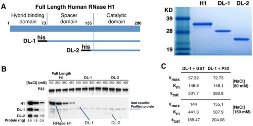 P32 appears to interact with the N-terminal duplex binding domain of RNase H1.(A) Expression and purification of RNase H1 deletion mutants. Left panel: Schematic depiction of the different human RNase H1 deletion mutants. DL1 deletes the hybrid binding domain (amino acid positions 1–73); DL2 deletes both the hybrid binding domain and the spacer domain (amino acid 1–129). The black bars at the N-terminus of each mutant represent a His tag. Right panel: Coomassie blue staining of the purified RNase H1 deletion mutants. The sizes of the standard markers are given. (B) Interaction of full length RNase H1 and its deletion mutants with P32. The full length or truncated RNase H1 proteins were incubated with GST-P32 bound to GST-beads under different NaCl concentrations ranging from 150–450 mM in both the binding and washing solutions. The P32 and RNase H1 or deletion mutants were eluted and analyzed by Western blot, using P32 or RNase H1 antibodies, respectively (right panel). Western blot to RNase H1 and deletion mutants DL1 and DL2 demonstrates that the mutant proteins are recognized by the RNase H1 antibody (left panel). (C) Michaelis-Menten Kinetics of DL-1 mutant in the presence or absence of P32. Km, Vmax, and kcat for DL-1 plus GST or GST-P32 (DL-1:P32 = 1:5 in molecular ratio) were determined in 50 and 150 mM NaCl concentration with the Apo B RNA/DNA duplex as described in the Material and Methods.