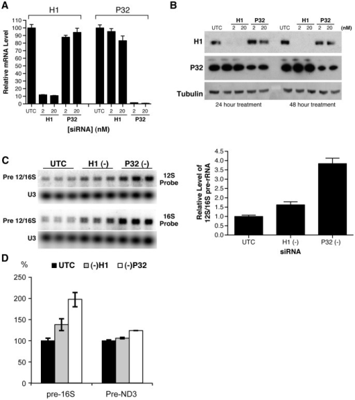 Depletion of RNase H1 or P32 resulted in accumulation of mitochondrial pre-12S/16S rRNA.HeLa cells were treated with 2 nM or 20 nM of RNase H1-siRNA or P32 –siRNA for 24 or 48 hours. (A) The mRNA levels of RNase H1 and P32 were determined by qRT-PCR 24 hrs after siRNA treatment. (B) Protein levels of RNase H1 and P32 were analyzed by western analysis 24 hours post siRNA treatment. (C) Reduction of RNase H1 or P32 significantly increased the level of mitochondrial pre-rRNA. HeLa cells were treated with either RNase H1-siRNA (2 nM) or P32-siRNA (2 nM) for 24 hours. Total RNA was prepared and subjected to Northern analysis with 32P labeled probes specific to 12S or 16S rRNAs. U3 snoRNA was detected and served as a control. The relative levels of pre-rRNA were measured from the results obtained with 12 S probe, normalized to U3, and plotted in the right panel. The error bars indicate standard error of the three replicates. (D) RT-PCR assay for the levels of pre-16 S and pre-ND3 RNAs. Total RNA prepared from HeLa cells treated for 24 hrs with corresponding siRNAs was analyzed by qRT-PCR, using primer probe sets specific to the tRNAVal-16 S rRNA junction (pre-16 S) or to the tRNAGly-ND3 junction (pre-ND3). The error bars represent standard deviation of three replicates.