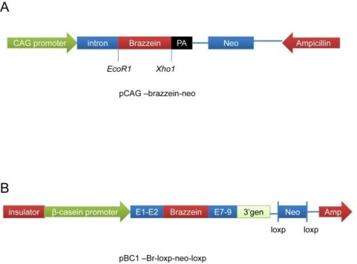 schematic of pcagbrazzeinneo and pbcbrloxpneol  openi, schematic