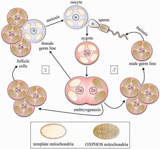 A model for maintenance of mtDNA by maternal inheritance of template mitochondria transmitted in the cytoplasm. An oocyte (egg cell) contains a nucleus with a haploid chromosome number (n) and a cytoplasm with multiple template mitochondria. A sperm cell, also with a haploid nucleus (n), is motile, and its motility requires ATP from active mitochondria performing oxidative phosphorylation (OXPHOS). Following fertilization, active sperm mitochondria are rapidly degraded, leaving only the maternal, template mitochondria in the cytoplasm of the diploid (2 n) zygote (or fertilized egg). Successive cell divisions in embryogenesis involve mitosis and differentiation—and division—of most template mitochondria into active OXPHOS mitochondria, which eventually dominate and populate not only somatic tissues but also the male germ line in which sperm are generated by meiosis in males for the next generation. However, some cells are sequestered and continue to carry only quiescent, template mitochondria, through meiosis and oogenesis to give the oocytes of females in the next generation. These cells comprise the female germ line. Female germ cells are never supplied with ATP by oxidative phosphorylation in their own mitochondria, but depend for their maintenance, at low metabolic rate, on ATP supplied, directly or indirectly, by neighboring somatic cells (follicle cells or nurse cells) that are specially adapted for this role. This hypothesis, after Allen (1996), predicts that the female germ line forms an indefinitely replicating vehicle for accurate transmission of mtDNA between generations. See also supplementary movie S3, Supplementary Material online.