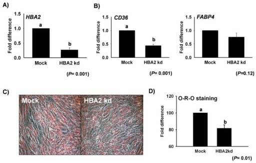 HBA2 knockdown in C2C12 cells during transdifferentiation.(A) mRNA expression of HBA2 after HBA2kd during transdifferentiation in C2C12 at Day 1, and (B) HBA2kd effect on mRNA expression of different adipogenic marker genes.(C) Cell picture following intracellular lipid staining by O-R-O on Day 5 during transdifferentiation in HBA2kd and Mock cells. Quantification of O-R-O at 510 nm. Control represents Mock (mean ± S.D., n= 3). p-value indicates the statistical significance of the data and different letters show significant differences among groups.