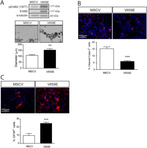 Expression of an activated ErbB2 molecule mimics Nf2 loss in SC NPCs.(A) Constitutively-activated ErbB2 (V659E) expression increases SC NPC neurosphere diameters (1.4-fold) (p = 0.0021; two-tailed Mann-Whitney U-test), (B) decreases NPC apoptosis (% cleaved caspase-3+ cells; 2.6-fold) (p<0.0001; two-tailed Mann-Whitney U-test), and (C) increases glial differentiation (2.6-fold) (p = 0.0006; two-tailed Mann-Whitney U-test). The data were normalized to the field of view. Values denote the mean ± SEM. (*) p<0.05; (**) p<0.001; (***) p<0.0001.