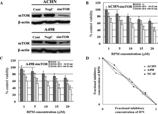 Effect of mTOR activity on the synergy of IFN-α and RPM. (A) Western blot analysis showing the expression of mTOR in two RCC cell lines transfected with RNAi. Bar graphs demonstrating the combination effect of IFN-α and RPM on m-TOR silenced (B) ACHN and (C) A498 RCC cells. (D) Effect of IFN-α and RPM on two m-TOR silenced RCC cell lines based on isobolographic analysis. All determinations were performed in triplicate and error bars represent SD. *P<0.01 vs. RPM alone. mTOR; mammalian target of rapamycin; IFN, interferon; RPM, rapamycin; RCC, renal cell carcinoma.