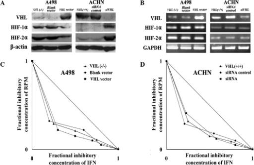 Effect of VHL activity on the synergy of IFN-α and RPM. VHL expression of VHL was downregulated in ACHN cells by RNAi and upregulated in A498 cells by transfection with a VHL vector, as confirmed by (A) western blot analysis and (B) RT-PCR. Isobolographic analysis demonstrated the effect of combination therapy with IFN-α and RPM on (C) A498 and (D) ACHN RCC cell lines. VHL, Von Hippel-Lindau; IFN, interferon; RPM, rapamycin; HIF, hypoxia-inducible transcription factor; RT-PCR, reverse transcription polymerase chain reaction; RCC, renal cell carcinoma.