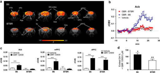 Compromised DA-mediated fMRI reactivity BTBR mice. (a) fMRI activation (relative cerebral blood volume—rCBV) elicited by acute intravenous administration of the DA reuptake inhibitor in B6 (top, n=10) and BTBR mice (bottom, n=10). Yellow/orange areas indicate areas in which the drug elicited a significant fMRI response with respect to a control vehicle (saline) injection (Z-score >1.6, P<0.001, cluster corrected). Note the lack of GBR 12909-induced fMRI response in several forebrain regions of BTBR mice, with a prominent involvement of ventro-striatal mesolimbic hippocampus and posterior parietal cortices. (b) Temporal evolution of the fMRI signal (CBV) in the nucleus accumbens upon injection of GBR 12909 in BTBR and control B6 mice. Basal fMRI signal in vehicle-administered B6 subjects is reported for reference (n=6). Drugs were administered at time 0. (c) Quantification of the fMRI changes produced by GBR 12909 administrations in B6 and BTBR mice (AUC0–20 min post injection). Basal fMRI signal in vehicle-administered B6 subjects is reported for reference (***P<0.001 vs vehicle, t-test) (d) DA-evoked CPA responses in the striatum of BTBR and B6 mice on co-incubation with GBR 12909 (5 μM). The drug induced a robust elevation of extracellular DA levels (expressed as percentage of baseline) in both strains (*P<0.05, *P<0.01, vs baseline, paired t-test). AUC, area under the curve; CBV, cerebral blood volume; CPA, constant potential amperometry; Cpu, caudate putamen; DA, dopamine; dPFC, dorsal prefrontal cortex; fMRI, functional magnetic resonance imaging; Hyp, hypothalamus; mPFC, medial prefrontal cortex; OFC, orbito-frontal cortex; SS, somatosensory cortex; Th, thalamus; vHc, ventral hippocampus; VTA, ventral tegmental area.