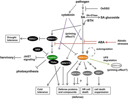 Current status of knowledge about the SA signaling pathway in rice. The rice SA pathway branches into OsNPR1- and WRKY45-dependent sub-pathways. OsNPR1 positively regulates defense reactions and suppresses JA signaling, and also down-regulates cellular activities such as photosynthesis, thereby playing a role in resource allocation during defense responses. WRKY45 positively regulates disease resistance through downstream transcription factors; WRKY62, OsNAC4, and HSF1. The role of WRKY62 in defense needs further investigation because there are conflicting data. The degradation of WRKY45 by the UPS has two effects: defense suppression in the absence of pathogens; and defense enhancement upon SA-pathway activation and/or pathogen infection. ABA signaling, which mediates abiotic stresses, negatively regulates the SA-pathway-dependent defense by acting upstream of WRKY45 and OsNPR1 (red lines). Cytokinin signaling, which is activated by M. oryzae infection, acts synergistically with the SA pathway to trigger defense responses, thereby possibly underpinning the priming effect (purple lines). WRKY13, a transcriptional repressor, positively regulates OsNPR1 and disease resistance by acting upstream of OsNPR1. WRKY13 also plays a role in down-regulating drought tolerance of rice through repressing SNAC1. By contrast, WRKY76 suppresses disease resistance while enhancing cold tolerance.