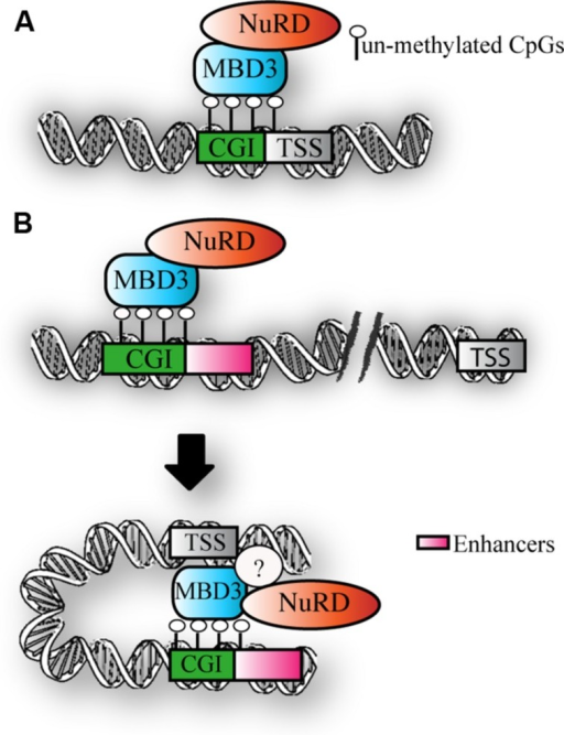 MBD3 binding to chromatin. (A) Schematic representation of MBD3 binding to unmethylated CGI promoters (B) MBD3 binding to unmethylated enhancers, that are in physical proximity to promoters in three-dimensional space. The question mark indicates the possible presence of other subunits involved in this association.