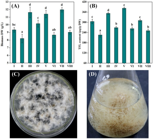 Selection of high-productive ITHRL.(A) Biomass production and (B) FL accumulation of eight selected ITHRL (I-VIII) after 3 weeks of cultivation in MS/2 liquid medium (initial pH 5.8, inoculum size 0.5%, culture temperature 25°C and sucrose concentration 3%). (C) Cultivation of ITHRL V on MS/2 solid medium and (D) its prolific growth in MS/2 liquid medium. Mean ± SD values not sharing the same lowercase letters are significantly different (P < 0.05).