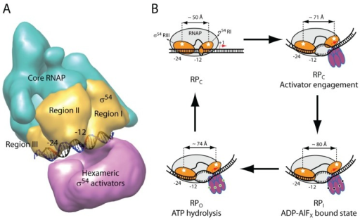 Domain architecture and the proposed mechanism of activation. (A) Cryo-EM reconstitution of the Eσ54-PspF-ADP-AlFx with the promoter DNA modelled in [21]; (B) Domain movements of σ54 Regions I and III during the transcription activation cycle (modified from [24]). The white stars depict fluorophores used in the smFRET experiments.