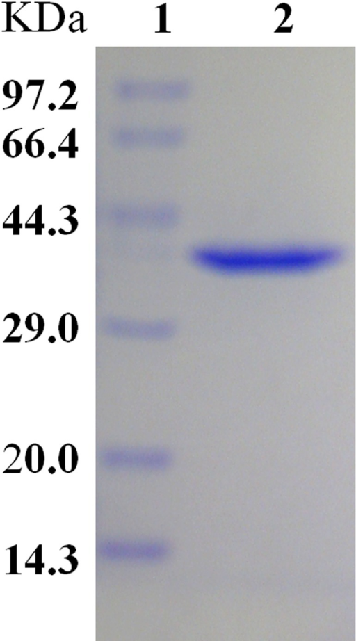 SDS-PAGE analysis of expression of feh gene inEscherichia coli. Lane 1, protein markers; lane 2,purified FeH.