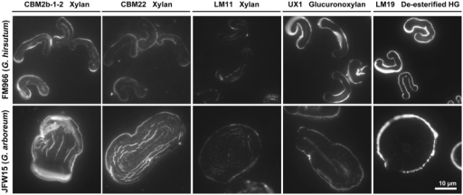 Immunodetection of an extended set of xylan epitopes/ligands in cross-sections of mature fibers of FM966 (G. hirsutum) and JFW15 (G. arboreum) using CBM2b-1-2, CBM22, LM11 and UX1 probes. LM19 (de-esterified homogalacturonan) labeling is shown as a comparative epitope specific to the primary cell wall. In all cases for the xylan probes, sections were pre-treated with sodium carbonate and pectate lyase. The scale is the same for all the images.