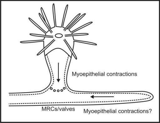 A hypothesis for how gastrovascular flow is regulated in colonial hydroids. At the polyp-stolon junctions there are mitochondrion-rich myoepithelial cells (MRCs) and valve-like structures; these valves in part regulate the flow (Blackstone et al., 2004a,b). Additional regulation may be provided by myoepithelial contractions of the polyps and possibly the stolons.