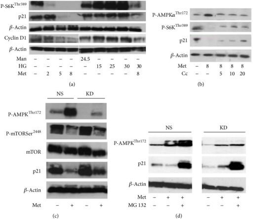 Western blot results indicate that AMPK inhibition is associated with the reversal of metformin-induced p21 downregulation in HEK293 cells. In these experiments, the protein level of P-S6KThr389, cyclin D1, P-AMPKα12Thr172, and P-mTORSer2448 was measured in order to confirm the expected effects of treatments. mTOR and β-actin were used to control equal protein loading. (a) The cells were treated with culture medium containing 5.5 mM D-glucose. Mannitol (Man) and D-glucose (HG) were added for three days at the indicated concentrations (mM). The cells were treated with metformin (Met) for 24 h at the indicated concentrations (mM). (b) Compound C (Cc) reverses metformin-induced p21 downregulation. The cells were treated with Met and Cc for 24 h at the indicated concentrations (mM and μM, resp.). (c) HEK293 cells stably transfected with shRNA expression plasmids targeting AMPKα2 (KD) or nonsilencing (NS) were cultured with or without 8 mM metformin for 18 h in whole cell culture medium. (d) The proteasome inhibitor carbobenzoxy-Leu-Leu-leucinal (MG132) prevents metformin-induced (Met) downregulation of p21. HEK293 cells stably transfected with shRNA expression plasmids targeting AMPKα2 (KD) or nonsilencing (NS) were cultured with or without 8 mM metformin and 10 μM MG132 overnight in whole cell culture medium. Vehicle effects were controlled by adding 0.05% DMSO to the conditions.