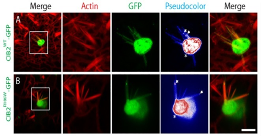 The p.Arg186Trp mutation does not affect the targeting of CIB2 to the stereocilia tips of vestibular system hair cells.Gene gun transfection of P3 vestibular system with a CIB2WT-GFP expression vector shows targeting of CIB2 to the cell body, the cuticular plate (Pseudocolor, *) and also along the length of stereocilia of hair cells (top set of panels). As previously shown, CIB2 also accumulates to the stereocilia tips (Pseudocolor, arrows). The p.Arg186Trp mutation does not affect the localization of CIB2 in the cuticular plate or to the tip of stereocilia (pseudocolor, *, arrows) as shown in the bottom set of panels. Scale bars, 5μm.