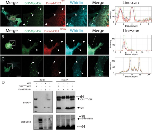 The p.Arg186Trp mutation does not affect the Myosin 15a/Whirlin/CIB2 tripartite complex.COS-7 cells were co-transfected with GFP-Myosin 15a, Dsred-CIB2WT, Dsred-CIB2R186W and Whirlin constructs. A) Co-transfection of GFP-Myosin 15a, Dsred-CIB2WT and Whirlin shows that the Myosin 15a-Whirlin complex is able to transport CIB2 to the tip of the filopodia and form a tripartite complex. The linescan analysis shows co-localization of the three proteins. B, C) The p.Arg186Trp mutation does not affect transport of CIB2 as Dsred-CIB2R186W co-localizes with Whirlin and Myosin 15a at the tip of the filopodia. D) In vitro co-immunoprecipitation of CIB2R186W-GFP and Dsred-Whirlin constructs showing that CIB2R186W variant interacts with Whirlin. GFP construct is used as a negative control. Scale bars, 10μm.