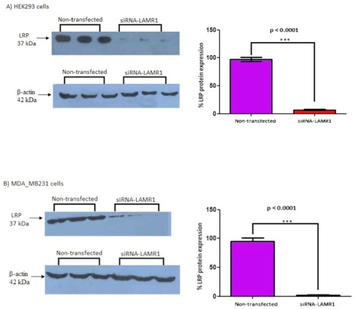 siRNA-mediated knock-down of LRP/LR in HEK293 and MDA_MB231 cells.The expression level in HEK293 and MDA_MB231 cells was investigated 72h post-transfection with siRNA-LAMR1. Densitometric analysis of western blot signals revealed a significant (*** p < 0.001) 90.48% and 92.59% reduction in LRP protein expression in A) HEK293 and B) MDA_MB231 cells, respectively, compared to control non-transfected cells (set at 100%).