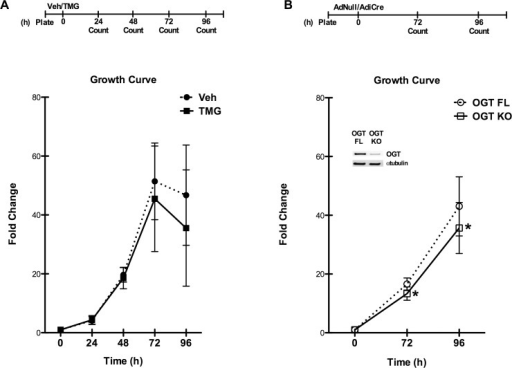 O-GlcNAc-primed CSCs maintain a normal growth profile, but loss of Ogt suppresses proliferation.A: Growth curves of CSCs maintained in culture with TMG demonstrate that augmented O-GlcNAc levels do not affect the characteristics of normal population growth. B:Ogt deletion results in significantly reduced cell proliferation. Inset indicates loss of OGT protein and diminished O-GlcNAc levels in the OGT KO cells. n = 3/group, *p < 0.05 vs OGT FL.