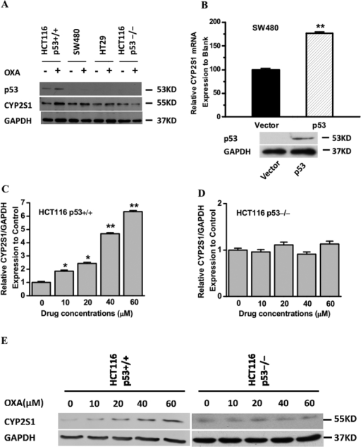 Involvement of p53 in CYP2S1 induction by oxaliplatin in colorectal cancer cells.(A) p53+/+HCT116 cells, SW480 cells, HT29 cells and p53−/− HCT116 cells were treated with oxaliplatin (20 μM) for 24 h; total protein was extracted, and the protein levels of total p53 and CYP2S1 were analyzed by western blotting. The results shown are representative of three experiments. (B) Ectopic expression of p53 markedly increased SW480 cells' CYP2S1 transcriptional activity after Oxaliplatin treatment for 24 h. Data are represented as mean ± s.d., **p < 0.01. (C, D) Effect of oxaliplatin treated on CYP2S1 mRNA expression. Isogenic p53+/+ HCT116 and p53−/− HCT116 cells were treated with oxaliplatin for 24 h; total RNA was extracted, and CYP2S1 mRNA expression was analyzed by Taqman-based real-time RT-PCR analysis. GAPDH was used as an endogenous control. (E) Cells were treated as described in panels C and D. CYP2S1 protein expression was analyzed by western blotting. GAPDH was used as an endogenous control. Representative results from three experiments are shown.