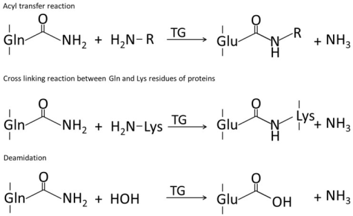 Reactions catalyzed by transglutaminase, adapted from [30].