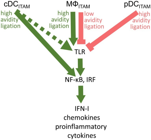 Cross talk between immunoreceptor tyrosine-based activation motif (ITAM)-associated receptor signaling and toll-like receptor (TLR) pathways in conventional dendritic cells (cDCs), MΦ, and plasmacytoid DCs (pDCs): an ITAM-centric view. ITAM-mediated activation pathways are shown by green arrows; ITAM-mediated inhibitory pathways are shown by red lines. Positive or negative control of immune responses in macrophages (MΦ) is determined by avidity of ITAM-associated receptors to their ligands. Production of interferons (IFNs)-I is facilitated by interferon-regulatory factor 3 (IRF3) in macrophages, by IRF5 in cDCs, and by IRF7 in pDCs. In cDCs, ITAM-associated receptor signaling can result in the IRF5-mediated production of IFN-β without engagement of TLRs (31). Alternative pathway in cDCs (32) is shown by dotted arrow.