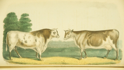<p>Ox and cow in profile in a land enclosure.</p>