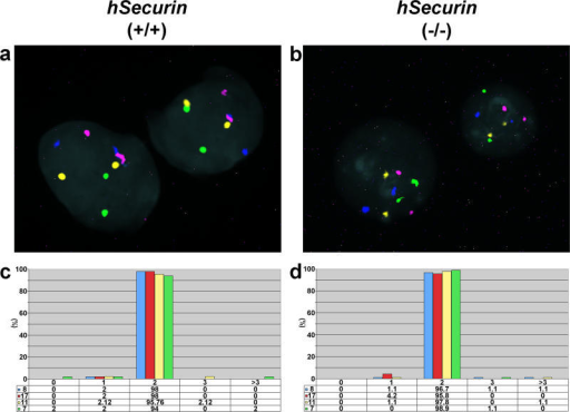 Assessment of Chromosomal Stability in Interphase Nuclei of Parental HCT116 Cells and Chromosomally Stable hSecurin−/− Cells Using Centromere-Specific Probes for Chromosomes 7, 8, 11, and 17(A and B) Representative interphase FISH images of parental HCT116 (hSecurin+/+) (A) and hSecurin−/− (B) cell nuclei after hybridization of a four-color probe set consisting of centromere probes for chromosomes 7 (Cy5.5; purple), 8 (FITC; green), 11 (Cy5; blue), and 17 (Cy3; yellow). In each nucleus, two signals are visible for each probe.(C and D) Graphic summary of chromosome gains and losses in parental HCT116 (C) and hSecurin−/− (D) cells. The percentage of signals per nucleus for chromosomes 7, 8, 11, and 17 was determined from 300 cells of each genotype (100 cells each in three separate experiments).