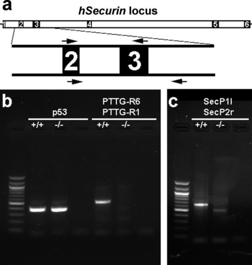 Verification that the Chromosomally Stable Cells Indeed Lack Part of hSecurin by Analyses of Genomic DNA from Parental HCT116 Cells (+/+) and Chromosomally Stable hSecurin−/− Cells (−/−)(A) Transcript structure of the hSecurin gene with its six exons. The lengths of introns and exons are drawn to scale based on the NCBI 35 assembly of the human genome (http://www.ensembl.org). Exons 2 and 3, with the locations of the respective primer pairs, are depicted enlarged.(B) As a control, PCR analysis was done with primers located in exons 8 and 9 of the p53 gene and resulted in the expected amplification product for both cell lines (lanes 2 and 3). In contrast, PCR with primers PTTG-R6 and PTTG-R1, located in the second and third exon of the hSecurin gene (arrows above exons 2 and 3 in [A]), yielded an amplification product only for the parental HCT116 cells (+/+; lane 5) and not for the chromosomally stable hSecurin−/− cells (−/−; lane 6). Lane 1 shows the 100-bp ladder as a size marker, and lanes 4 and 7 are negative controls for the respective primer pairs.(C) PCR analyses with primers SecP1l, located in exon 2, and SecP2r, located in intron 3–4 (arrows below exons 2 and 3 in [A]), resulted in amplification products with different sizes (lanes 2 and 3), reflecting the deletion of exon 3. Lane 1 shows the 100-bp ladder; lane 4 is the negative control.
