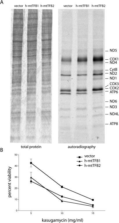Analysis of mitochondrial translation rates and kasugamycin sensitivity in h-mtTFB1 and h-mtTFB2 over-expression HeLa cell lines. (A) Mitochondrial translation products were labeled in vivo with 35S-methionine in the presence of the cytoplasmic translation inhibitor emetine. Mitochondria were purified after labeling and 100 μg of mitochondrial protein were loaded on a linear gradient polyacrylamide gel. Shown on the left is a coomassie stain of the resulting gel demonstrating equal protein loading and on the right is an autoradiogram of the radiolabeled mitochondrial proteins (specific proteins are indicated on the right). Changes in the profile of labeled products only occur during over-expression of h-mtTFB2. (B) Plotted is the percent viable cells of the indicated cell lines after growth for 72 h in the indicated amount of the aminoglycoside kasugamycin. The analysis was done in triplicate and values shown are the mean ± SD.