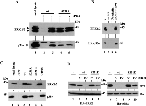 Effect of PTP-SL phosphorylation by PKA on the association with MAP kinases and their dephosphorylation. (A) GST-PTP-SL 147-288 wild type or S231A fusion proteins (1.5 μg) were left untreated (−) or were phosphorylated in vitro by cPKA (+) in the presence of cold ATP, as indicated. Rat-1 cell lysates (500 μg) were added, and the fusion proteins were precipitated with glutathione-Sepharose. The kinases were detected by immunoblot analysis with anti–ERK1/2 (top) or anti–p38α (bottom) antibodies. In lane 1, total lysate samples (20 μg) were loaded. Arrowheads indicate the migration of the kinases. (B) 293 cells were transfected with pRK5 GST-PTP-SL 147-549 (both panels); in the bottom panel, cells were cotransfected with pECE-HA-p38MAPK. After 48 h, cells were left untreated (−) or were treated with dibutyryl-cAMP, dibutyryl-cAMP plus H89, or forskolin, as indicated. The GST-PTP-SL fusion proteins were precipitated from the cell lysates with glutathione-Sepharose, and coprecipitated kinases were detected by immunoblot analysis with anti–ERK1/2 (top) or anti–HA (bottom) antibodies. (C) 293 cells were transfected with pRK5 GST (lane 2) or the pRK5 GST-PTP-SL 147-549 wild type or mutants, as indicated, and fusion proteins were precipitated as in B, followed by immunoblot with anti-ERK1/2 or anti-p38α antibodies. In lane 1, total lysate (20 μg) was loaded. All GST-PTP-SL proteins were equally expressed. (D) Tyrosine-phosphorylated HA-ERK2 or HA-p38α were precipitated with the anti–HA 12CA5 mAb from activated 293 cells, transfected with pCDNA3-HA-ERK2 (lanes 1–5) or pECE-HA-p38MAPK (lanes 6–10), and immune complexes were subjected to in vitro phosphatase assays during the indicated times (in minutes) in the presence of GST-PTP-SL 147-549 wild type (lanes 2, 3, 7, and 8) or S231E (lanes 4, 5, 9, and 10) (1 μg). In lanes 1 and 6, no fusion proteins were added, and samples were kept on ice. Tyrosine phosphorylation was detected by immunoblot with the anti-phosphotyrosine 4G10 mAb (top panels). Bottom panels show the equal presence of HA-ERK2 and HA-p38α in all lanes, after stripping of the filters and reprobing with the anti-HA 12CA5 mAb. Equal activities of GST-PTP-SL wild type and S231E towards pNPP were measured (not shown). All samples (A–D) were resolved by 10% SDS-PAGE under reducing conditions.